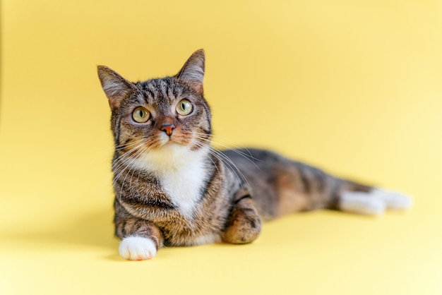 Engraçado gato listrado em casa, com grandes olhos amarelos, colarinho branco e patas brancas mentiras.