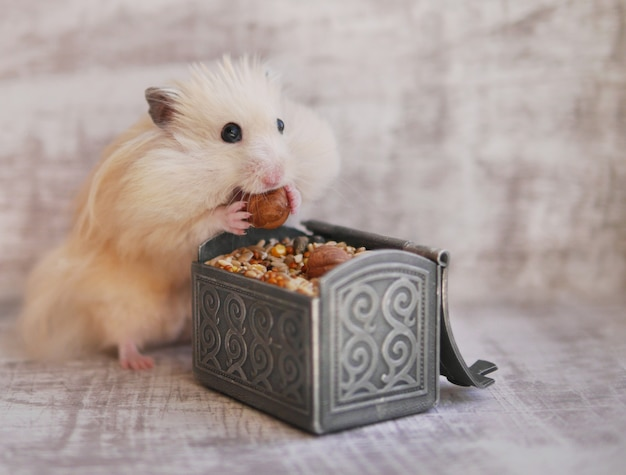 Engraçado hamster peludo tem bochechas grandes