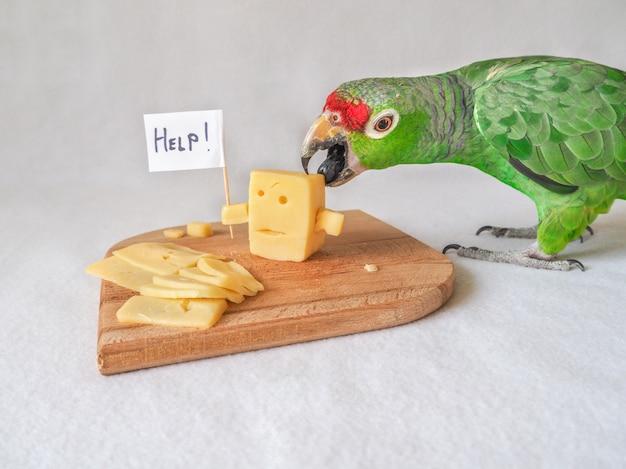 Engraçado papagaio comendo queijo e queijo pede ajuda.