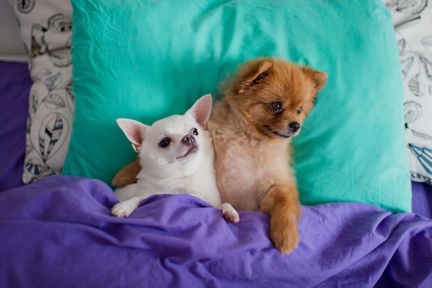 Engraçado par de filhote de cachorro pomeranian com cachorro chihuahua, deitada na cama e abraçando