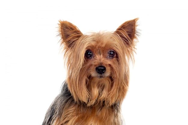 Engraçado pequeno cão yorkshire