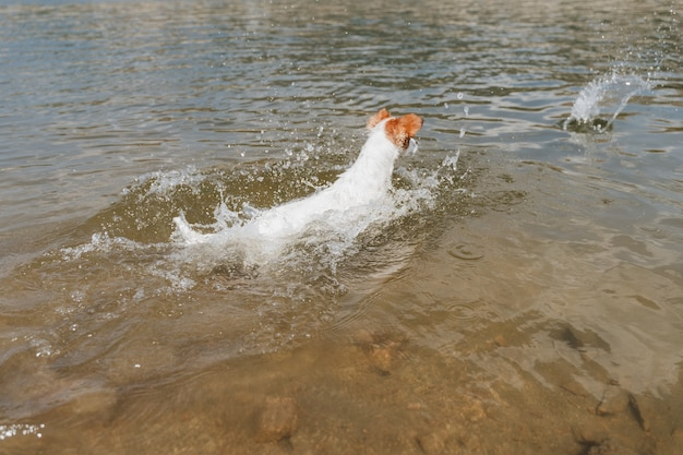 Engraçado pequeno jack russell cachorro nadando e correndo no lago. horário de verão. animais de estimação, aventura e natureza