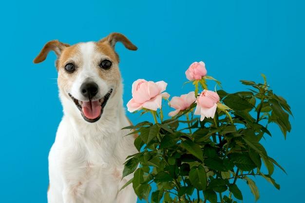 Engraçado pequeno jack russell terrier com a boca aberta em pé contra a parede azul perto de florescência rosas arbusto rosa