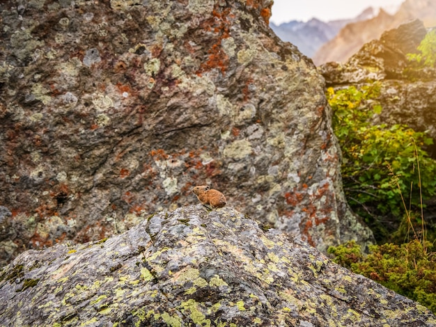 Engraçado pika ochotona collaris fica em uma montanha rochosa de altai. mamífero pequeno bonito em bokeh de fundo. pequeno roedor pika aquece-se na rocha.