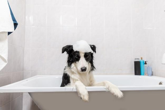 Engraçado retrato interno de filhote de cachorro border collie sentado na banheira obtém banho de espuma tomando banho com shampoo.
