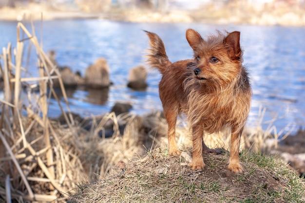 Engraçado yorkshire terrier fica em uma colina contra o pano de fundo de água e desvia o olhar. pêlo castanho comprido de cão e orelhas grandes. horizontal.