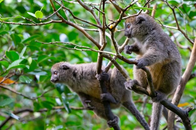 Engraçados lêmures de bambu em um galho de árvore observam os visitantes
