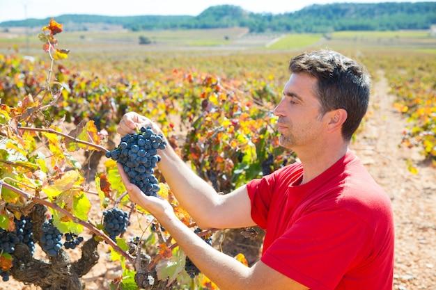 Enólogo colhendo uvas bobal no mediterrâneo