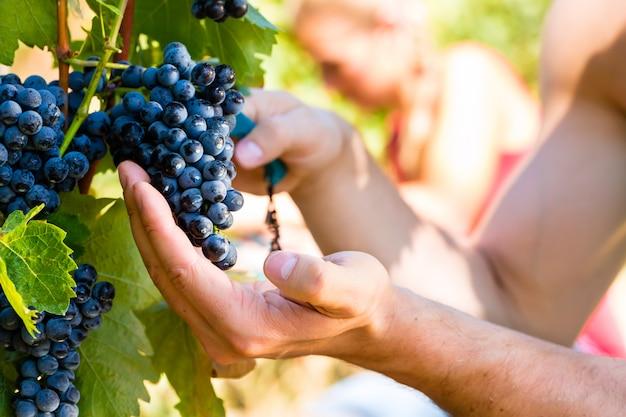 Enólogo colhendo uvas para vinho