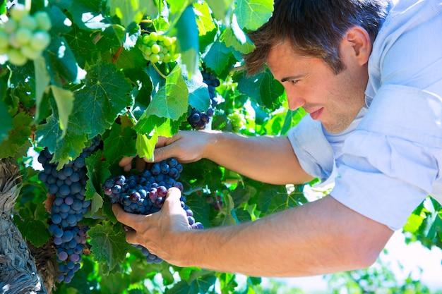 Enólogo, enólogo, verificar, bobal, uvas vinho