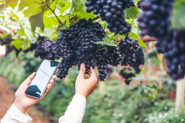 Enólogo, mulher, winemaker, usando, smartphone, verificar, uvas, em, vinhedo