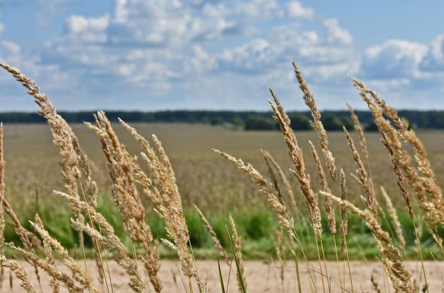 Enorme campo de trigo amarelo e céu azul