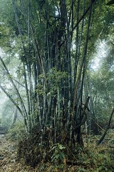 Enorme floresta de bambu na tailândia