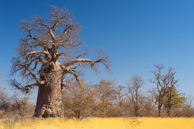 Enorme planta de baobá na savana com céu azul claro
