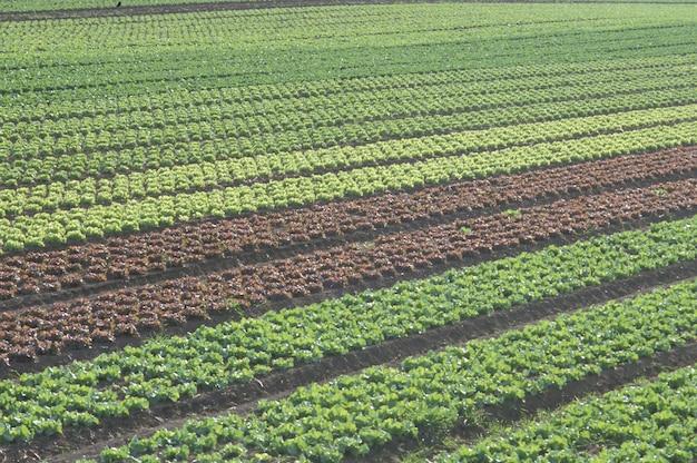 Enorme plantação de vegetais, conceito de campo de agricultura