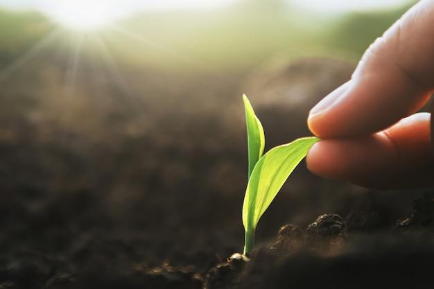 Entregue guardar o milho do rebento na exploração agrícola com por do sol.