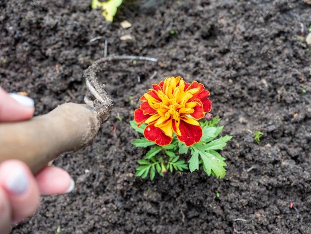 Enxada tratamento de flores plantadas no clube. vista superior, configuração plana. agricultura, horticultura