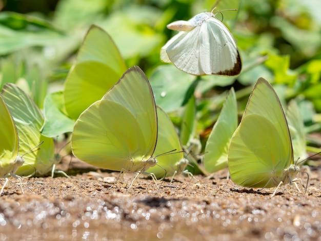 Enxame de borboletas come os minerais no solo.