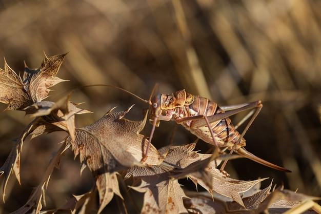 Ephippiger ephippiger. cigarra feminina fotografada em seu ambiente natural.