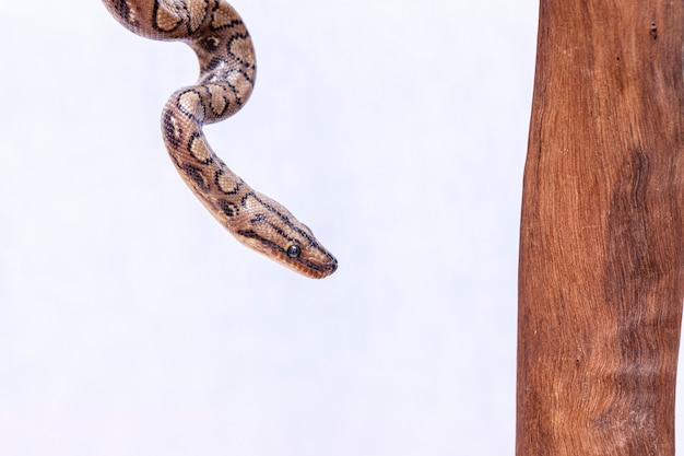 Epicrates cenchria é uma espécie de jibóia endêmica na américa central e do sul. os nomes comuns incluem a boa do arco-íris e boa delgada