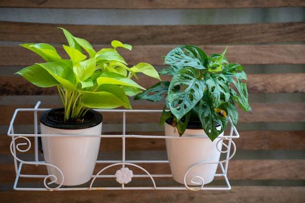 Epipremnum aureum planta em vaso branco contra a parede de madeira.