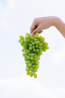 Época de colheita, cacho de uvas frescas na mão humana. uvas maduras e suculentas em um fundo do céu