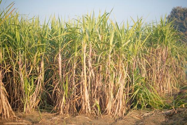 Época de colheita da cana, a safra da cana está pronta para a colheita.