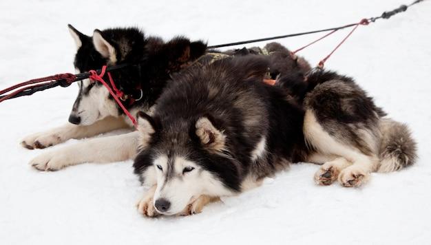Equipe husky