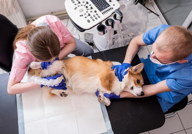 Equipe veterinária examina o cão corgi usando ultrassom