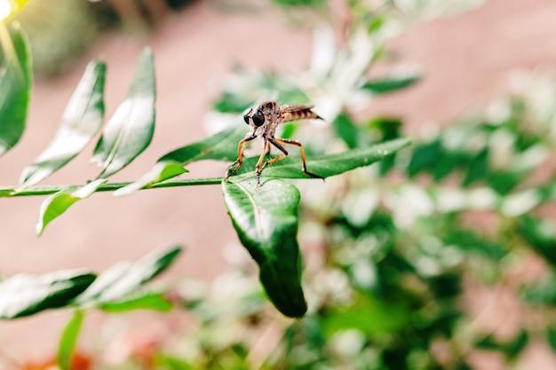 Erax barbatus maior, inseto díptero em uma folha, esperando uma presa.
