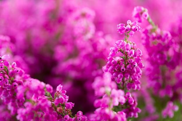 Erica gracilis. plantas coloridas ao ar livre.