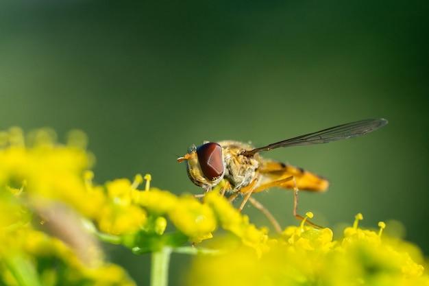Eristalis pertinax é uma mosca flutuante europeia. um tiro macro de uma hoverfly (eristalis pertinax).