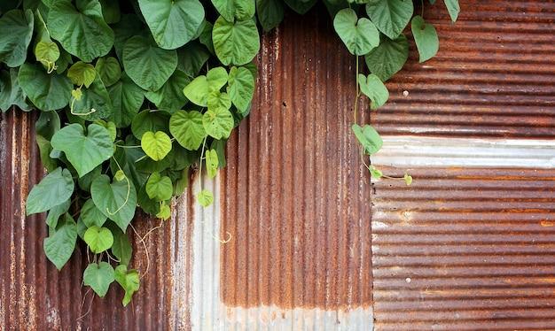 Erva daninha verde na velha parede galvanizada enferrujada, velha casa abandonada, cor tonificada.