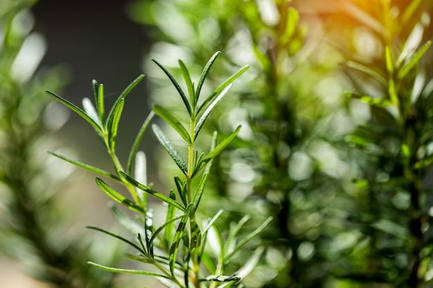 Erva de alecrim fresca cresce ao ar livre. close-up de folhas de alecrim.