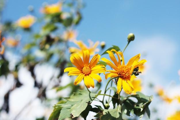 Erva de girassol mexicana linda e céu azul na montanha. flores de calêndula em tha