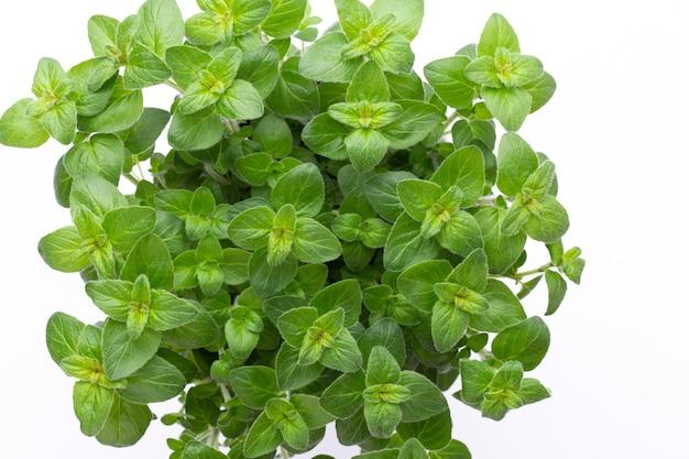 Erva de salsa, manjericão, salvija, folhas, tomilho, especiarias de hortelã na superfície branca.