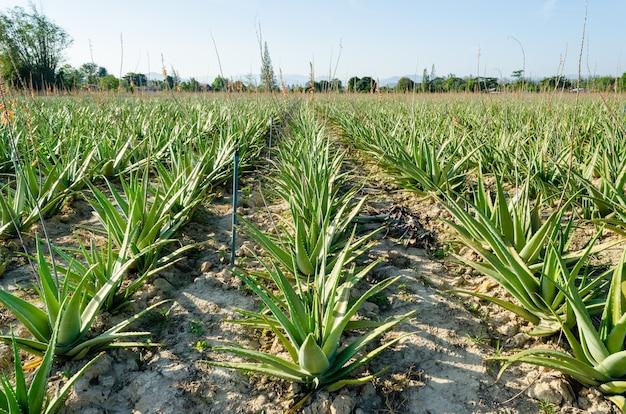 Erva no cultivo do campo de plantação da planta de aloe vera, fazenda e agricultura na tailândia