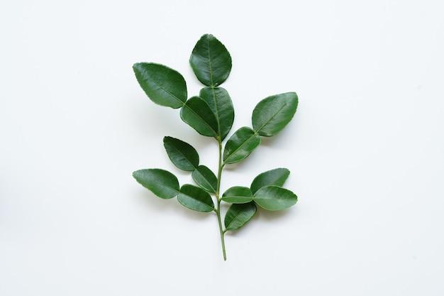 Erva tailandesa de bergamota verde fresca para tratamento de spa e cabelo