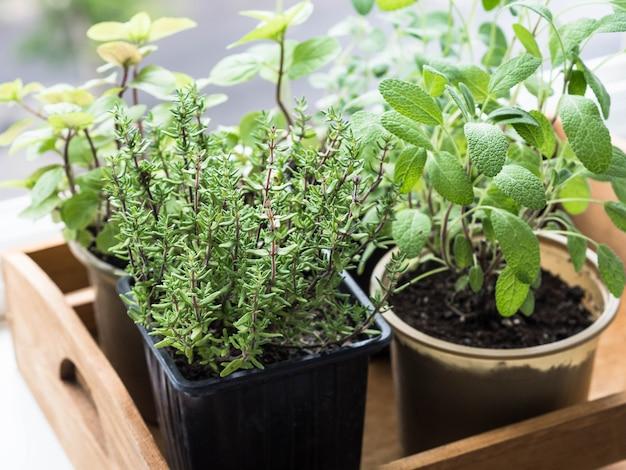 Ervas em vasos na bandeja de madeira crescendo em uma janela. tomilho, hortelã, sálvia e orégano em vasos no peitoril da janela.