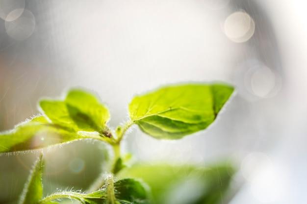 Ervas frescas de manjericão doce em um jardim