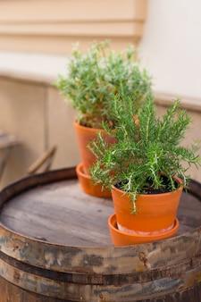 Ervas frescas e verdes nos velhos potes marrons