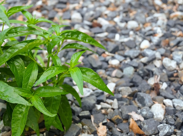 Ervas frescas, kariyat ou andrographis paniculata plantas