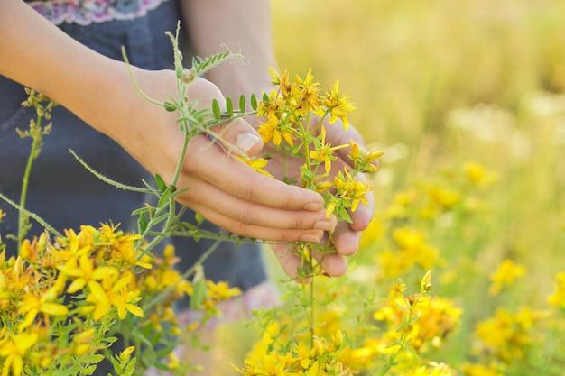 Ervas medicinais crescendo em prados selvagens. hipericum hipericum amarelo florescendo na mão das meninas. fitoterapia natural