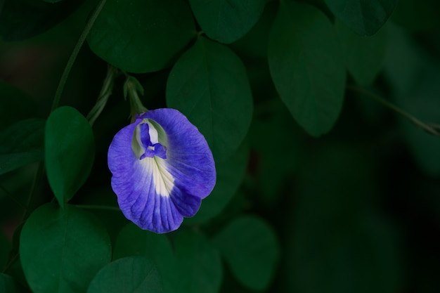 Ervilha borboleta. ou ervilha azul em tons de verde escuro é uma erva com muitos benefícios para o corpo
