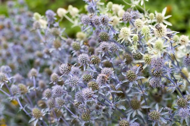 Eryngo azul ou eryngium planum. flores silvestres com close-up de vespas.