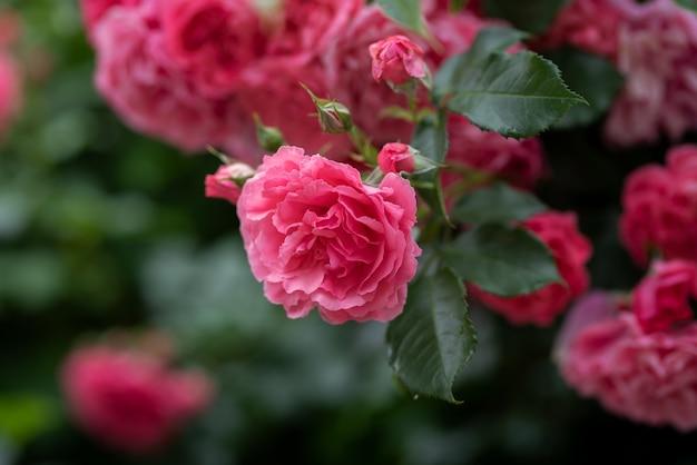 Escalando flores de roseira em galhos arqueados