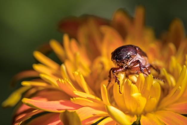 Escaravelho em flores laranja