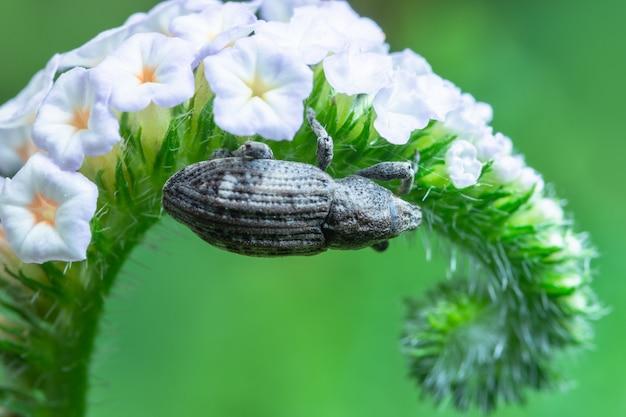 Escaravelho macro na flor