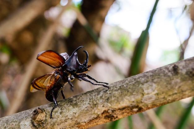 Escaravelho, xylotrupes gideon linneaus.
