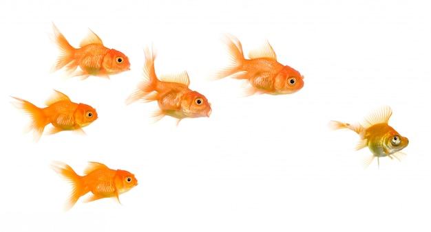 Escola de goldfish isolada, esta imagem pode ser usada para representar: exclusão, bullying, perseguição, caça, liderança, gangue, solidariedade, etc.